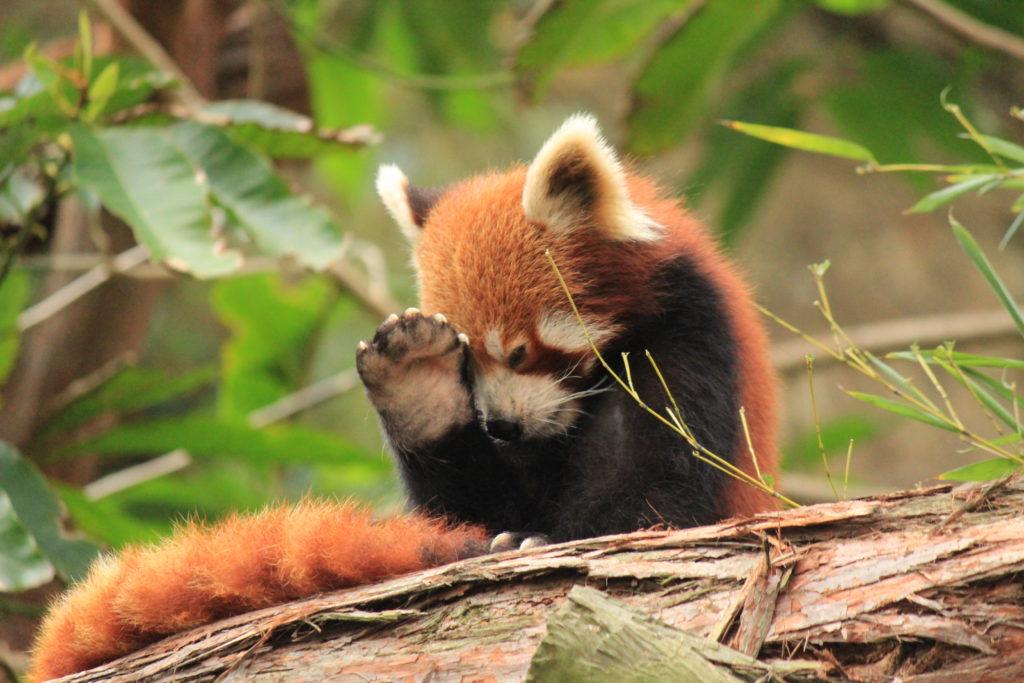 lesser panda paw