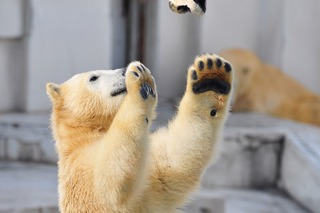 nikukyuu6 polar bear